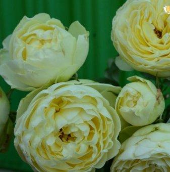 Роза зелен помпон