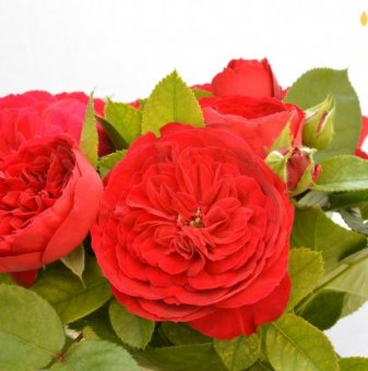 Роза оранжев помпон