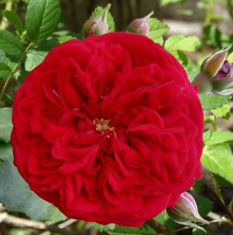 Роза червен помпон