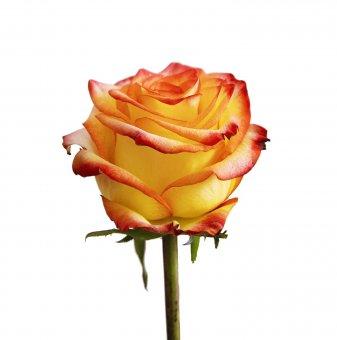 Роза шарена жълто-червена