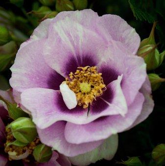 Роза бяло-лилава