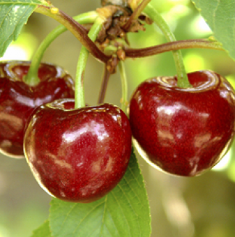 ПАКЕТ 5 + 1 дръвчета Круша Червена вилямова + Попска + Ябълка Пинк лейди + Златна превъзходна + Чере..