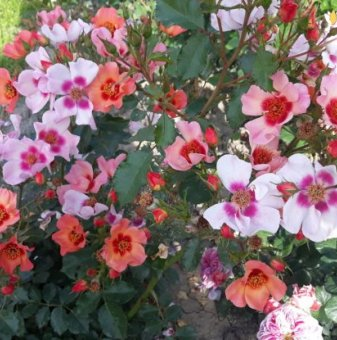 Роза шарена двуцветна