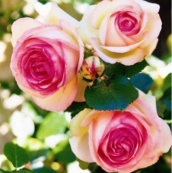 Роза катерлива бяло-розова
