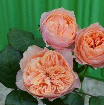 Роза преливаща божуреста
