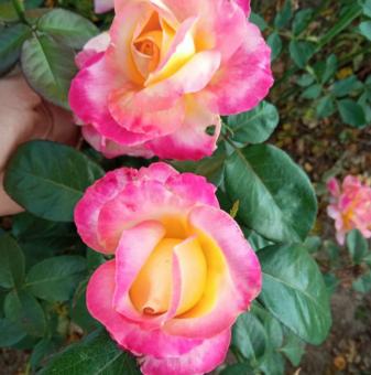 Роза едроцветна розова