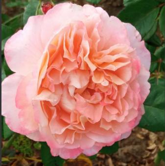Роза преливащо розова