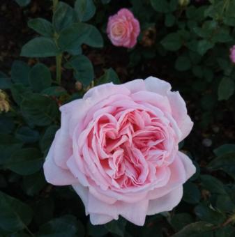 Роза с цвят Пепел от Рози с аромат на гюл