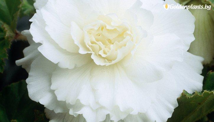 Снимка Бегония Двойна Бяла / Begonia DOUBLE WHITE/