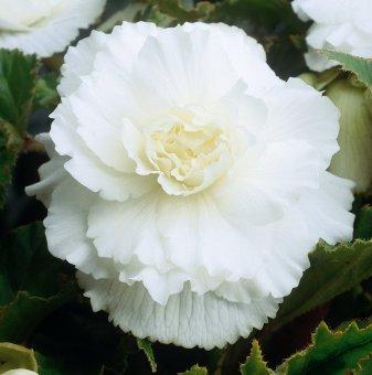 Бегония Двойна Бяла / Begonia DOUBLE WHITE/