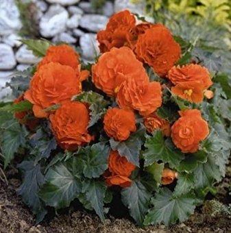 Бегония Двойна оранжева / Begonia DOUBLE ORANGE/